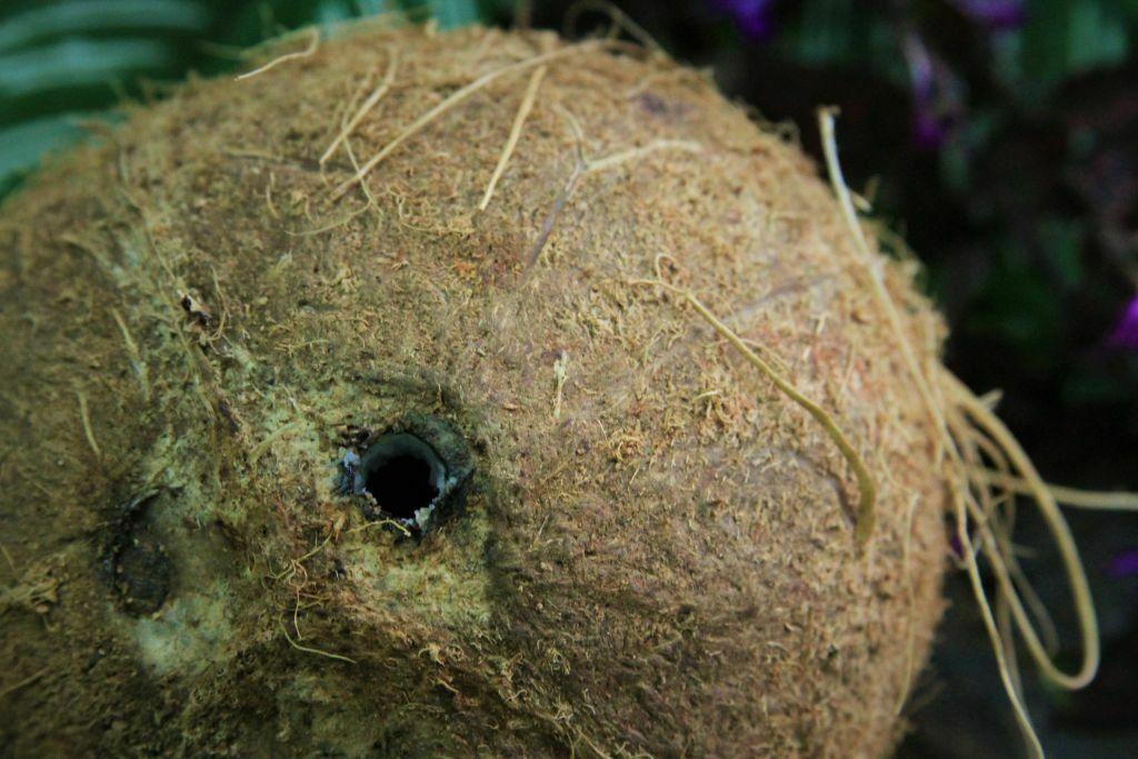 coco seco furado amor pela comida
