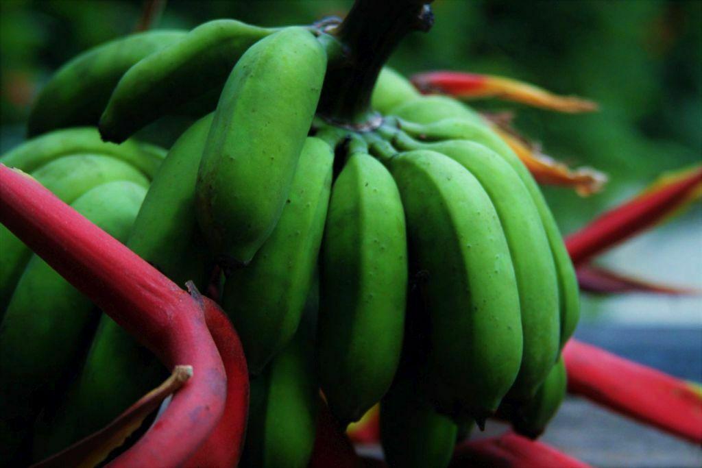 Banana verde para fazer biomassa